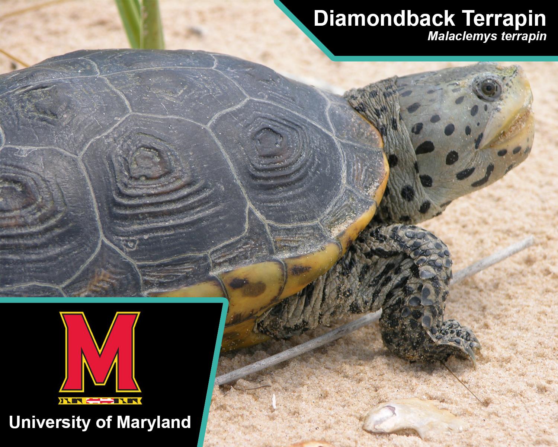 diamondback-terrapin